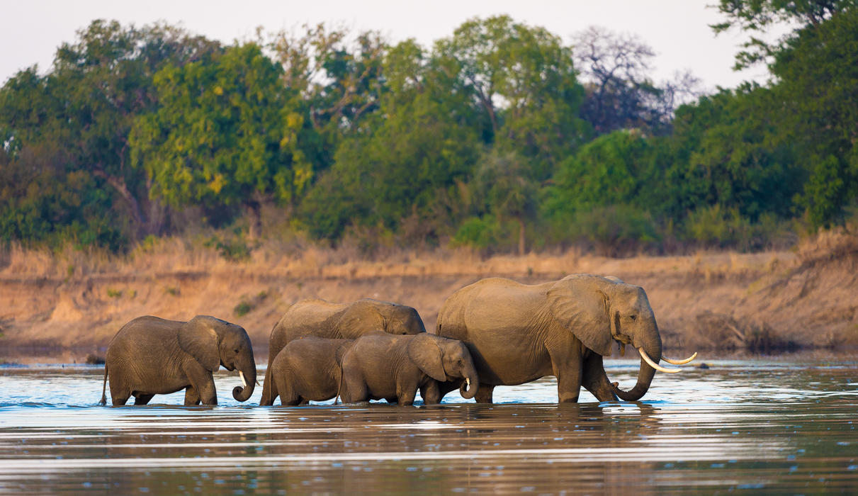 Elephants crossing the Luangwa in front of camp