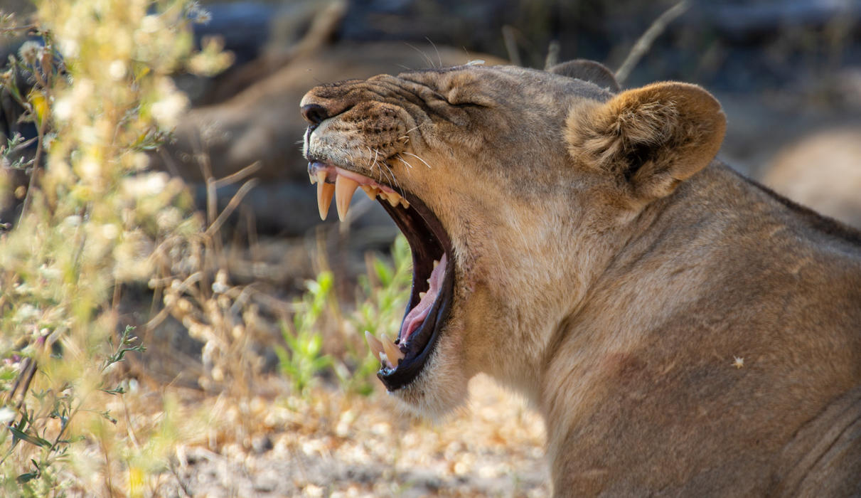 Lion in the Selinda Reserve