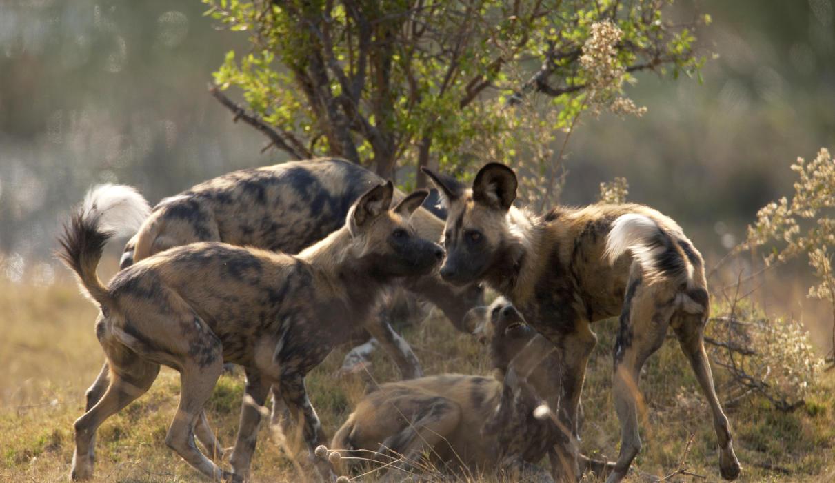 Wild Dog in the Selinda Reserve