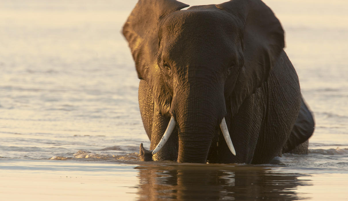 Wading Elephant in the Selinda Reserve