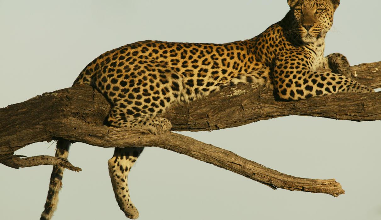 Leopard Relaxing near Selinda Camp