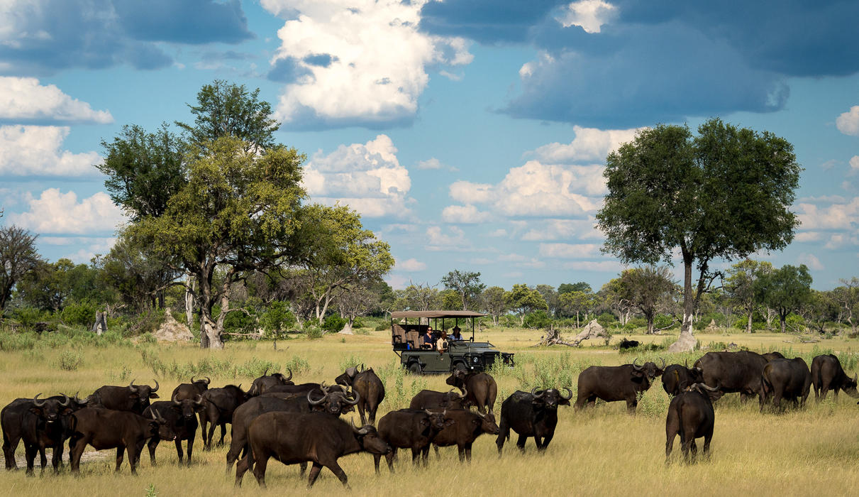 Buffalo herd with dramatic backdrop