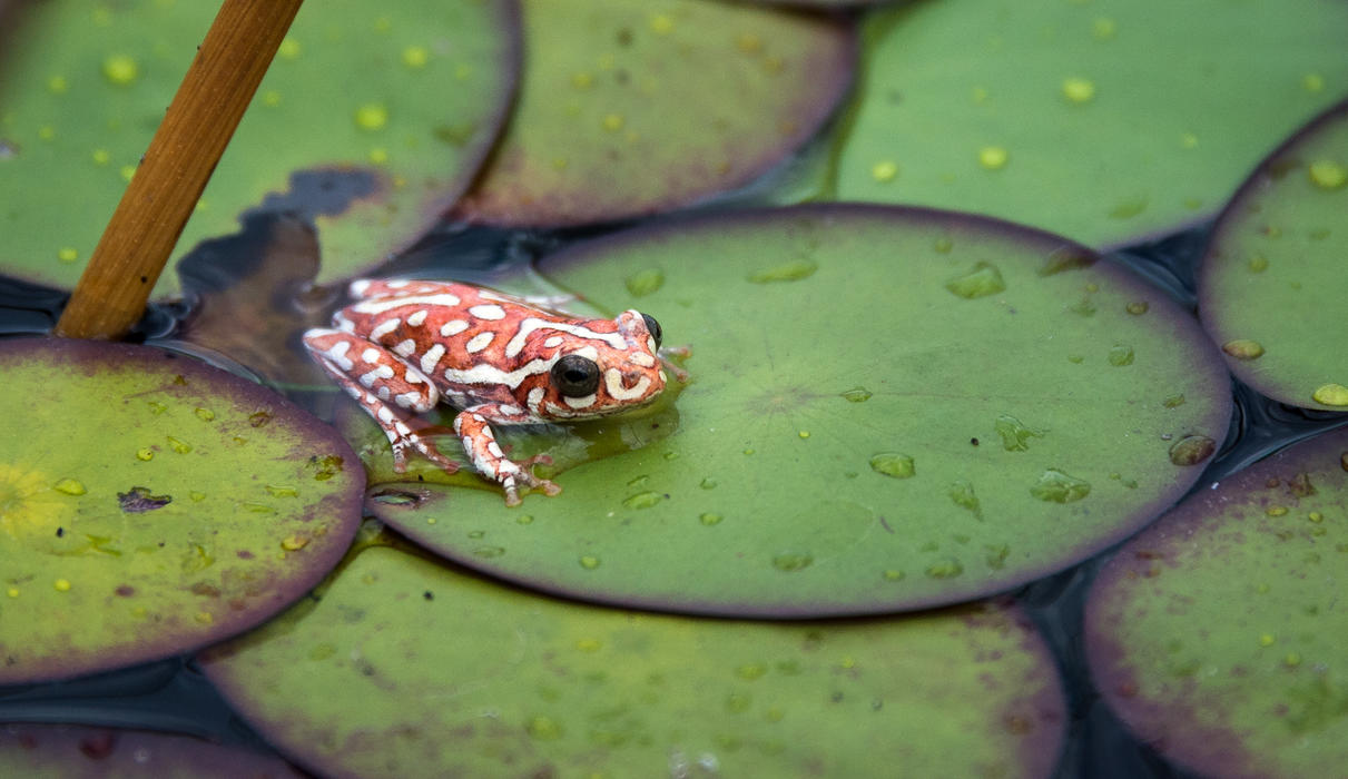 Colorful reed frog on the lily pads