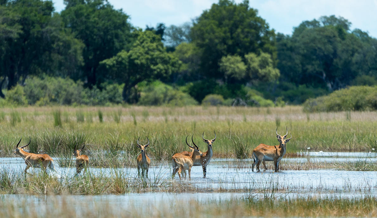 Lechwe on the floodplain