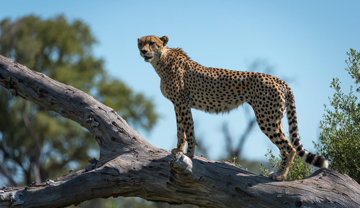 Cheetah taking advantage of a fallen tree to take in the surrounds