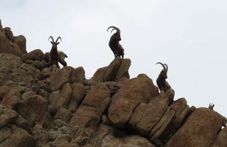 Ibex on the skyline