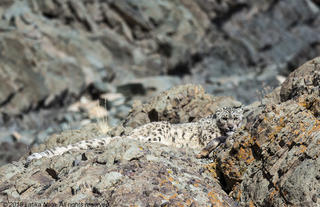 Snow Leopard on a kill