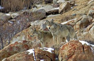 Wolves at their vantage point -  scanning the lodge grounds for food