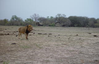 Male lion in front of Plains Camp