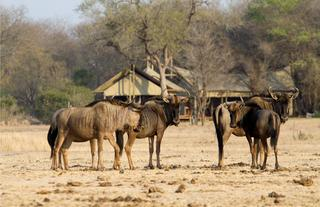 Wildebeest in front of Plains Camp