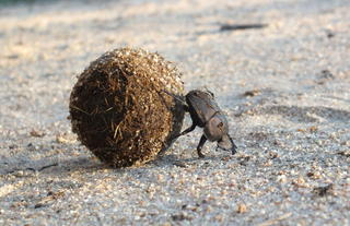 Rhino Walking Safaris - Dung Beetle