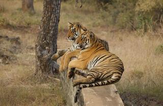 Destinations - Tiger Safari - Tadoba and Pench