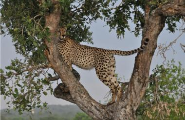 Rhino Post Safari Lodge - Cheetah in tree