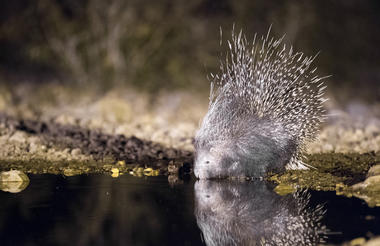 Ongava Game Reserve - porcupine at waterhole