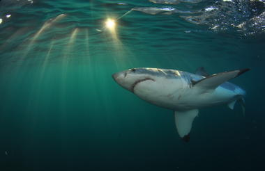 Great white Shark - White Shark Projects