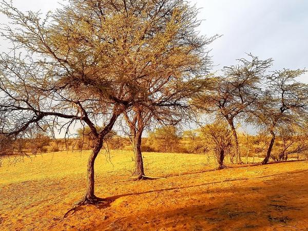 Monkey Thorn Tree