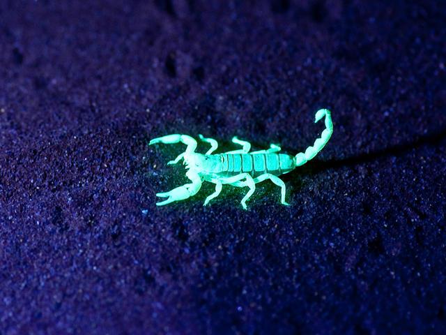 Little Kulala - Guided Scorpion Night Walks