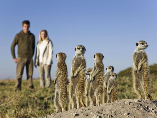 Walking with Meerkats at Planet Baobab