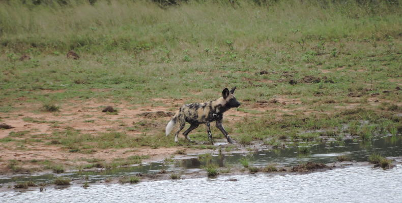 Painted dog at Ivory Waterhole