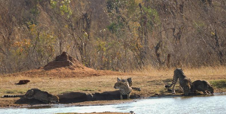Cheetah family at Ivory Waterhole