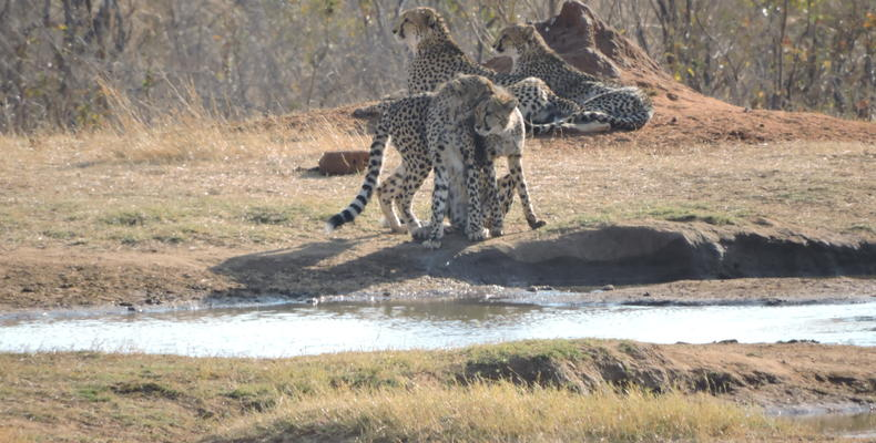 Cheetahs at Ivory Waterhole