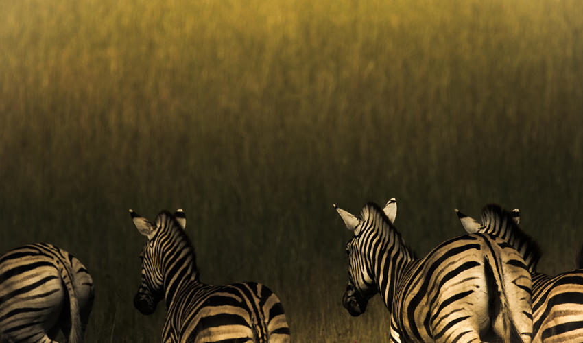 Zebra at last light
