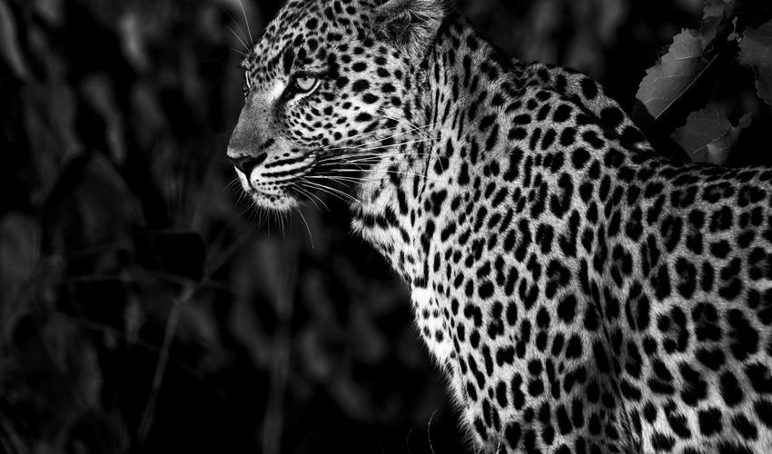 Inscrutable leopard