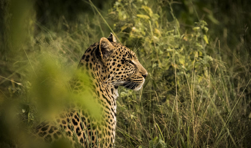 Resident leopard at Abu