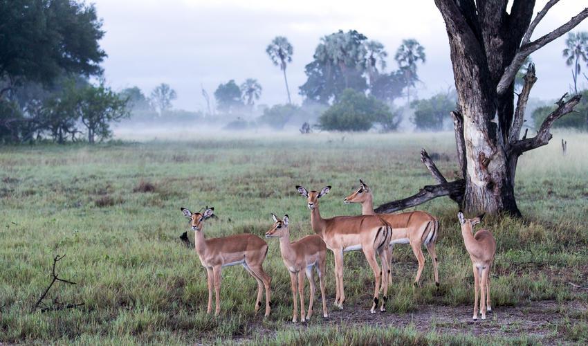 Misty morning setting with Impala herd