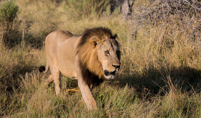 Male lion walks through his teritory
