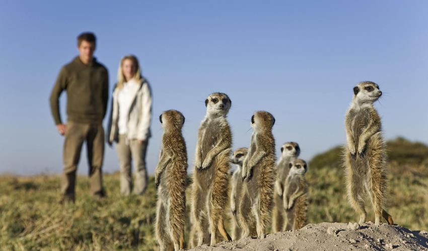 Habituated Meerkats