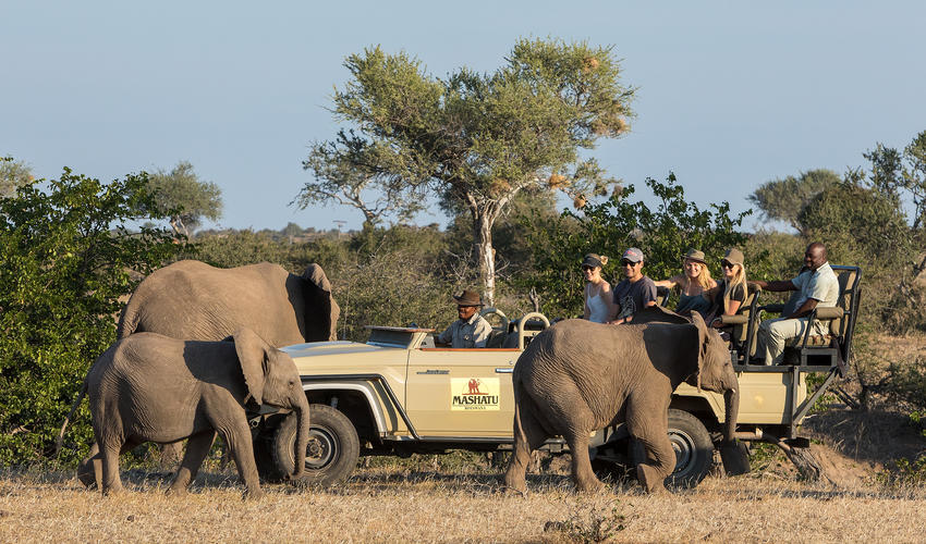 The elephants walk right next to the vehicles