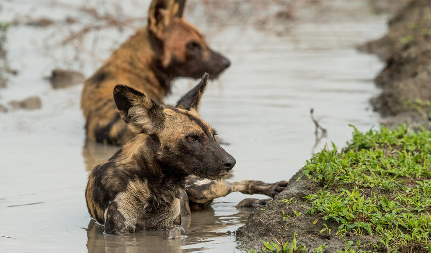 Roho ya Selous - wild dogs play in the water