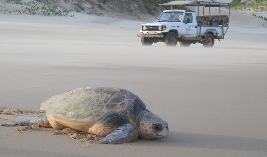 Turtle heading back to sea after laying her eggs