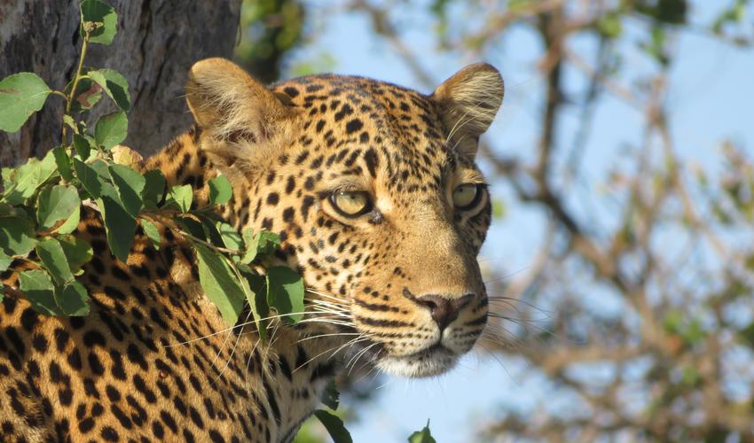 A beautiful Leopard keeping a look out