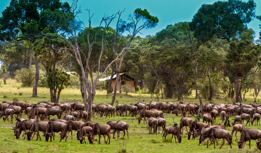 The migration enjoying the grass around the camp