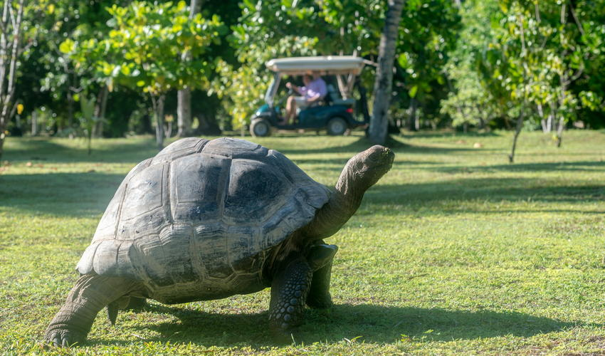 Giant Aldabra tortoise, one of many which are resident on North Island