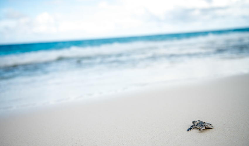 A turtle hatchling heads for the ocean - proof that the Island's environmental initiatives are working