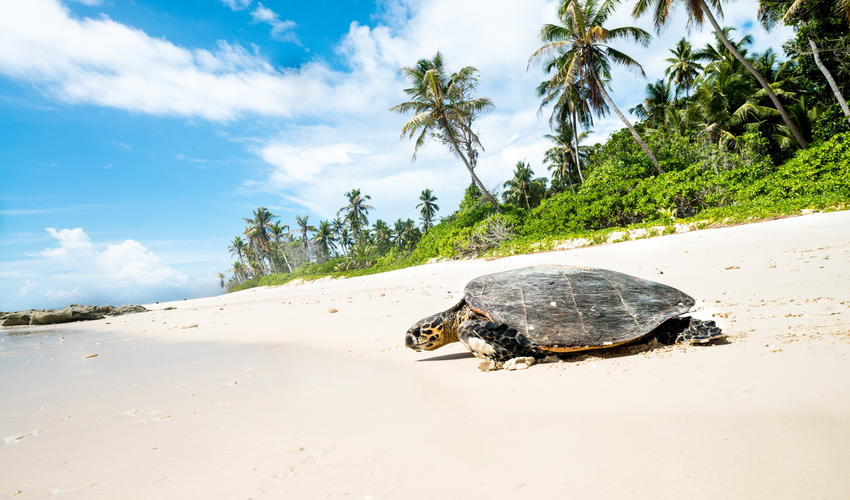 Hawksbill Turtle returning to the ocean after nesting on North Island