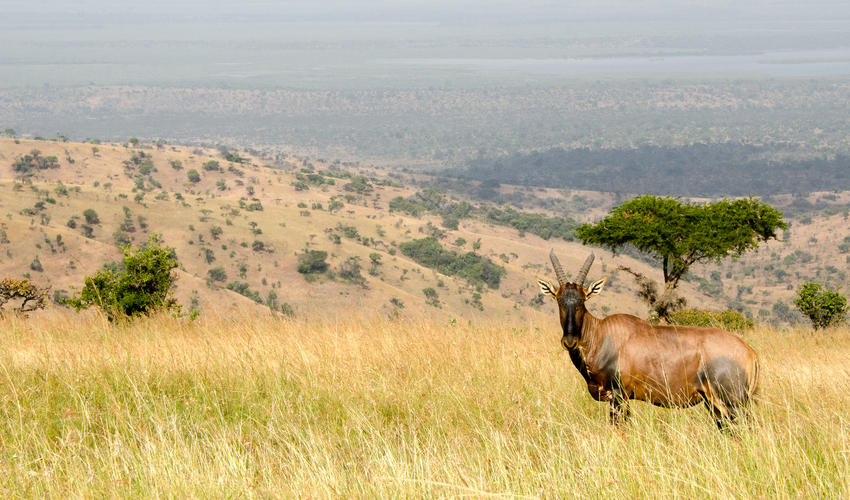 Topi are related to the common tsessebe