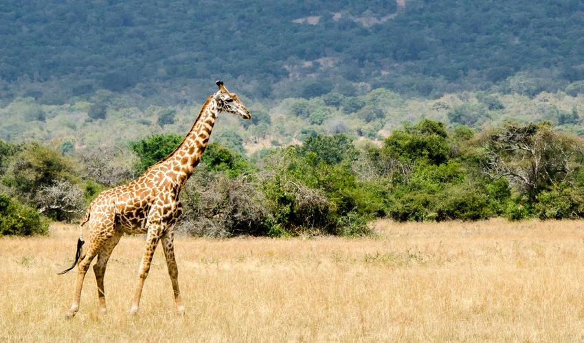 Masai giraffe on Kilala Plain in Akagera National Park