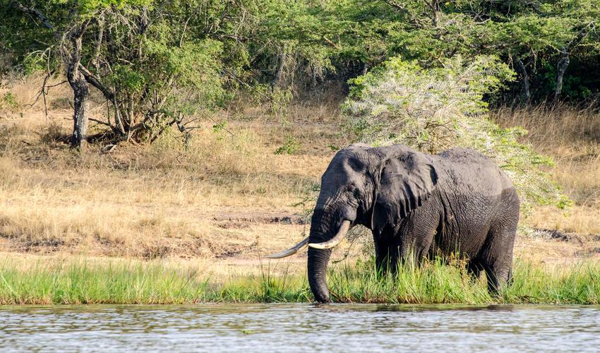 Elephant at Lake Rwanyakazinga