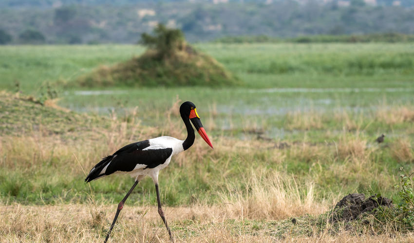 Saddle-billed storks can attain a height of 1.5 metres and feed mainly on fish, frogs and crabs