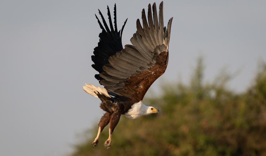 The African fish-eagle is found throughout sub-Saharan Africa