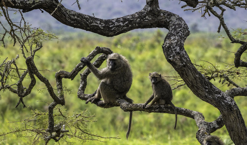 Olive baboons' social structure relies on a complex system of vocal and non-vocal communication