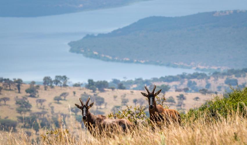 Topi on a hillside overlooking Lake Rwanyakazinga