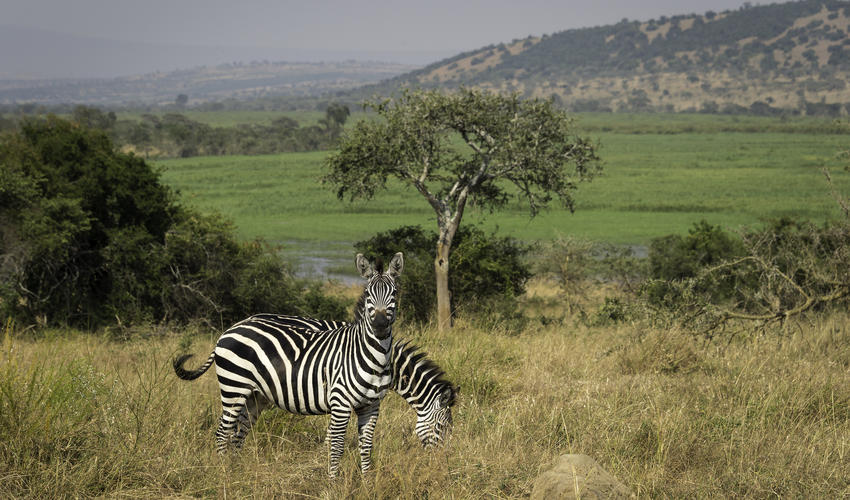 Of the three subspecies of zebra, plains (pictured) and mountain zebra are the most horse-like
