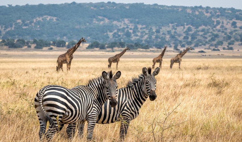 Plains zebra with Masai giraffe