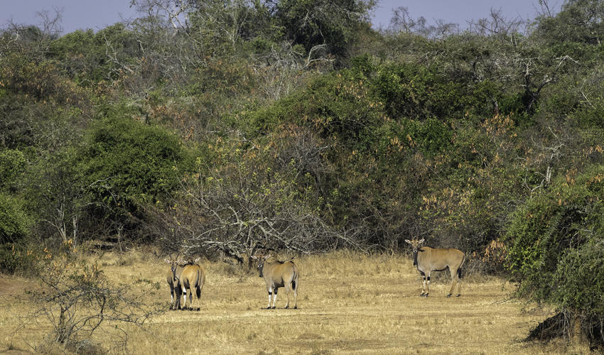 Common eland seen from a game drive