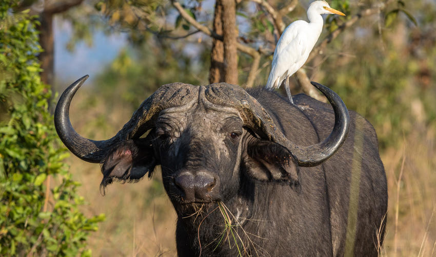 Buffalo with cattle egret in breeding plumage